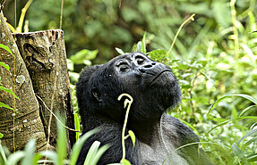 2 day flying tour Chimpanzee safari and Trekking to kibale National park