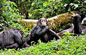 6 day safari to Kibale, Queen elizabeth and Bwindi national park