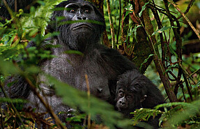 4 day flying chimpanzee tour to kibale national park and bwindi gorilla national park
